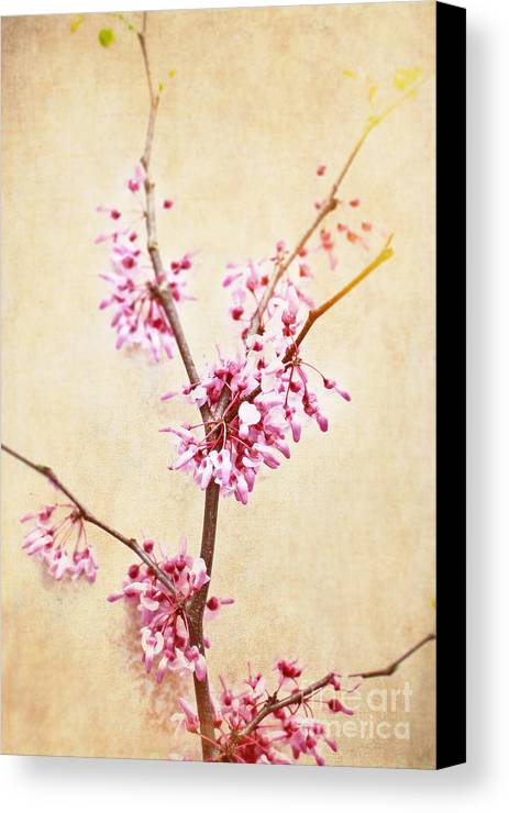 Crab Apple Canvas Print featuring the photograph Apple Blossoms by Stephanie Frey