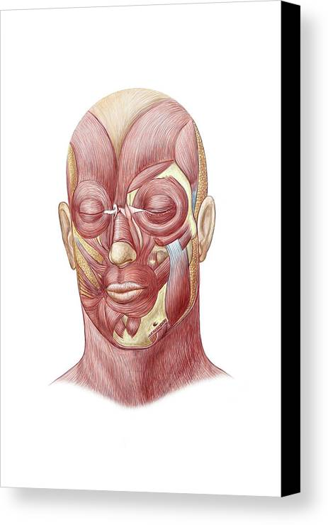 Facial Muscles Of The Human Face Canvas Print Canvas Art By