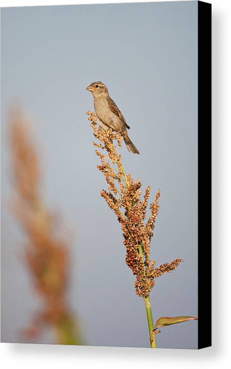 Bird Canvas Print featuring the photograph House Sparrow (passer Domesticus by Larry Ditto