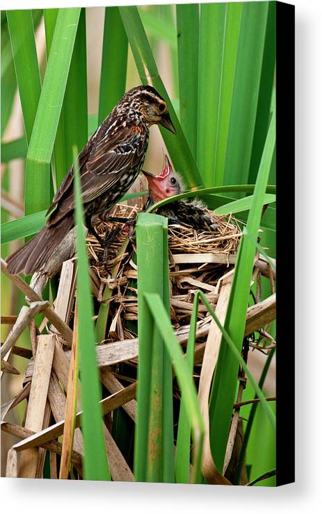 Agelaius Phoeniceus Canvas Print featuring the photograph Red Wing Black Bird Feeding Young by David Northcott