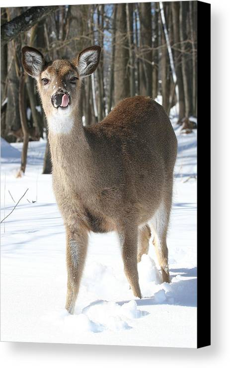 Doe Canvas Print featuring the photograph White-tailed Deer by Ken Keener