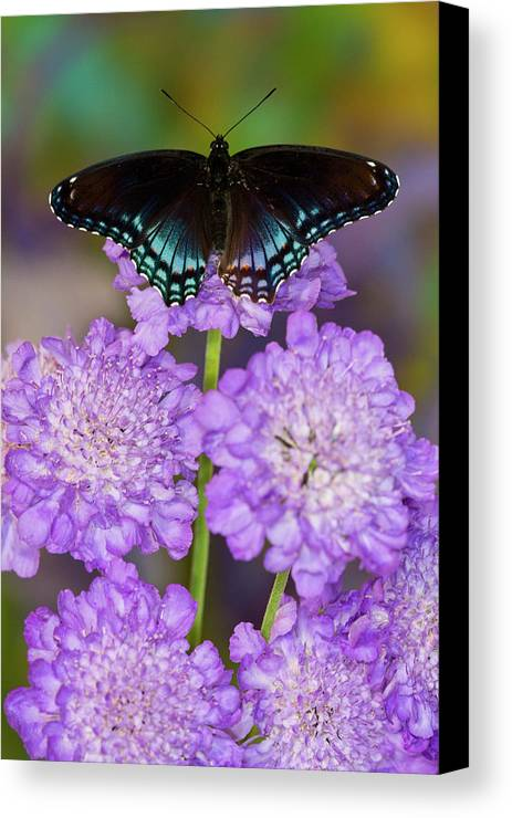 Blue Canvas Print featuring the photograph Red-spotted Purple Butterfly, Limenitis by Darrell Gulin