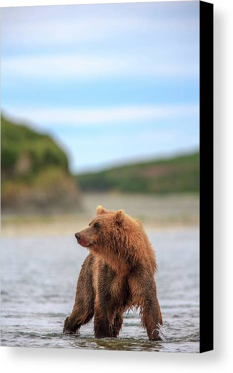 Alaska Canvas Print featuring the photograph Grizzly Bears Also Called Brown Bears by Tom Norring