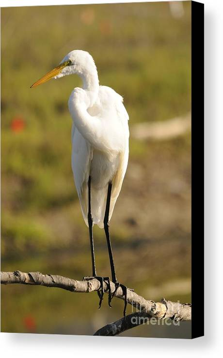 Egret Canvas Print featuring the photograph Egret by Marc Bittan