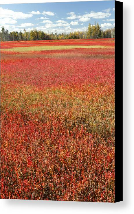 Feb0514 Canvas Print featuring the photograph Autumn Blueberry Field Maine by Scott Leslie