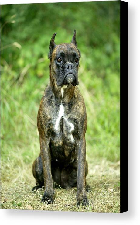 Boxer Canvas Print featuring the photograph Boxer Dog by Jean-Michel Labat