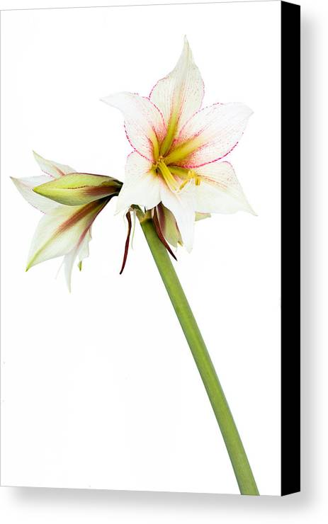 Amaryllis Canvas Print featuring the photograph White Amaryllis Flower by Frank Gaertner