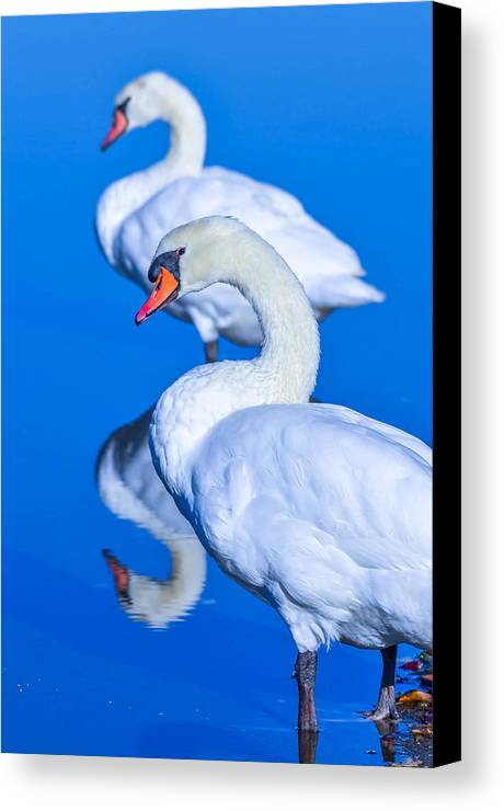 Canvas Print featuring the photograph Mute Swans by Brian Stevens