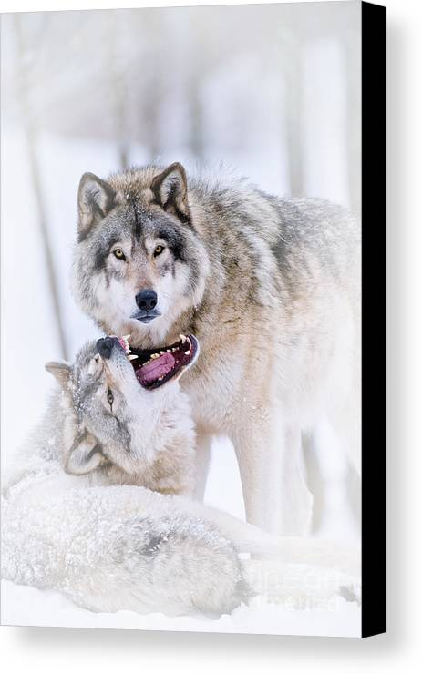 Timber Wolf Canvas Print featuring the photograph Timber Wolf Pictures by Michael Cummings