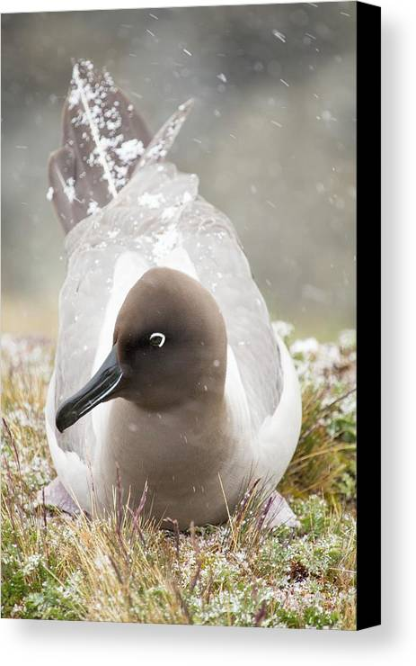 Colony Canvas Print featuring the photograph A Light Mantled Albatross by Ashley Cooper