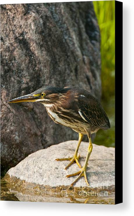 Green Heron Canvas Print featuring the photograph Green Heron by Michael Cummings
