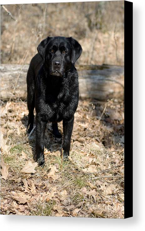 Black Lab Canvas Print featuring the photograph Black Labrador Retriever by Linda Freshwaters Arndt