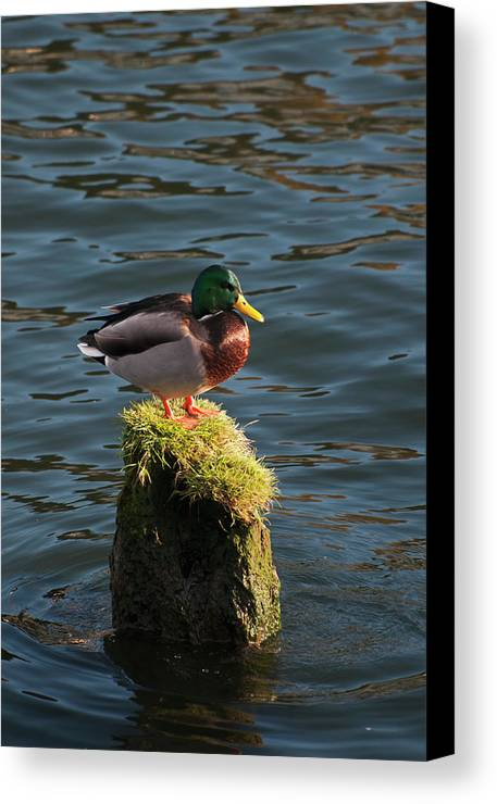 Domestic Animal Canvas Print featuring the photograph A Drake Mallard Perches On A Piling by Robert L. Potts