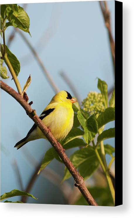 American Goldfinch Canvas Print featuring the photograph A Male American Goldfinch Carduelis by Robert L. Potts