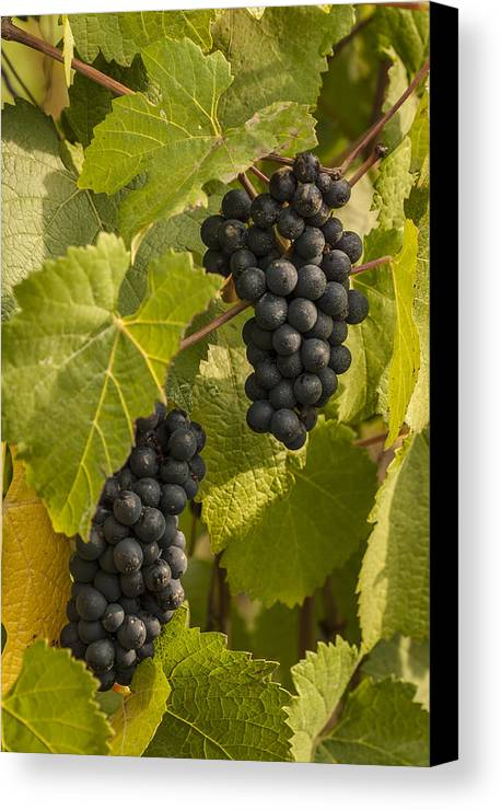 Crop Canvas Print featuring the photograph A Pair Of Clusters by Jean Noren