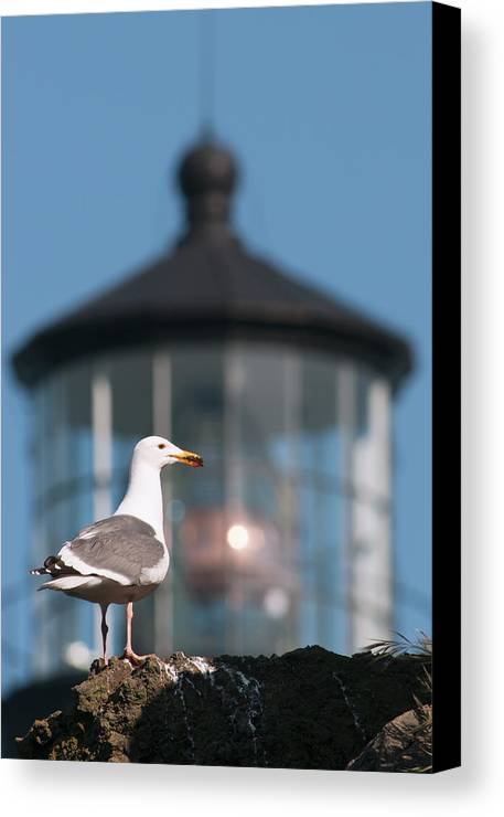 Blue Sky Canvas Print featuring the photograph A Western Gull Larus Occidentalis by Robert L. Potts