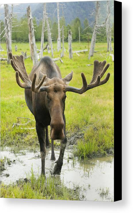 Day Canvas Print featuring the photograph An Elk Standing In A Puddle Of Water by Doug Lindstrand