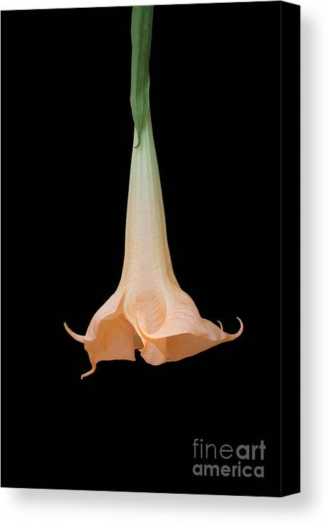 Angel's Trumpet Canvas Print featuring the photograph Angel's Trumpet by Judy Whitton