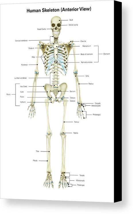Anterior view of human skeletal system canvas print canvas art by vertical canvas print featuring the photograph anterior view of human skeletal system by alan gesek ccuart Choice Image