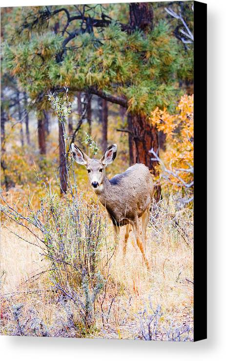 Mule Deer Canvas Print featuring the photograph Autumn Doe by Steve Krull