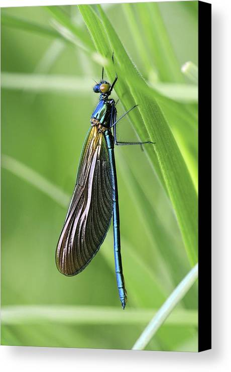 Animal Canvas Print featuring the photograph Beautiful Demoiselle Damselfly by Science Photo Library