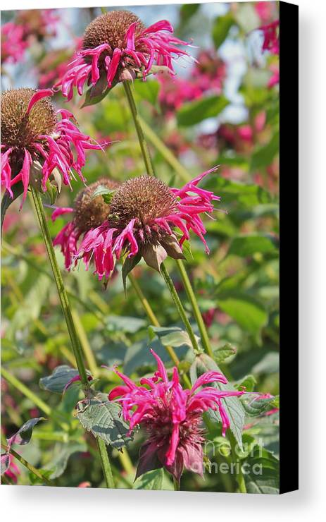 Bee Balm Canvas Print featuring the photograph Bee Balm 2 by Marie Spence