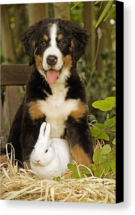 Bernese Mountain Dog Canvas Print featuring the photograph Bernese Mountain Puppy And Rabbit by Jean-Michel Labat