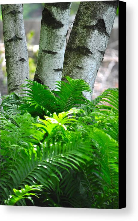 Birch Tree Canvas Print featuring the photograph Birch And Fern by Jeremy Evensen