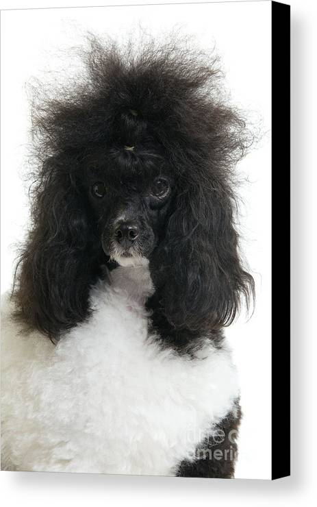 Poodle Canvas Print featuring the photograph Black And White Poodle by Jean-Michel Labat