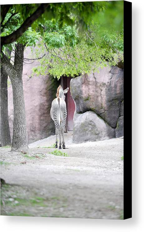 Zebra Canvas Print featuring the photograph Camera Shy by Dawn Duffield