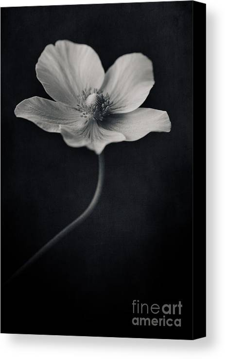 Anemone Canvas Print featuring the photograph Catch The Light by Priska Wettstein