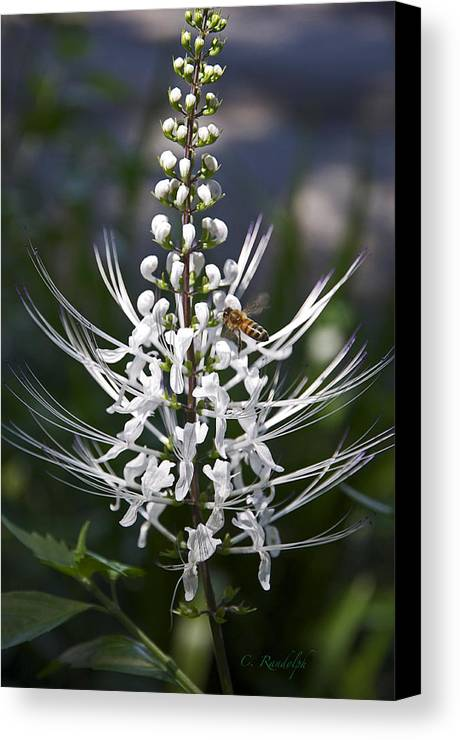 Cat's Whiskers Bloom Canvas Print featuring the photograph Cat's Whiskers by Cheri Randolph