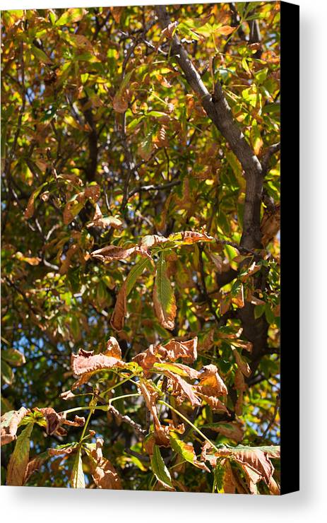 Chestnut Canvas Print featuring the photograph Cchestnut Tree In Autumn by Frank Gaertner