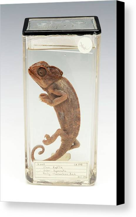Anatomy Canvas Print Featuring The Photograph Chameleon By Ucl Grant Museum Of Zoology