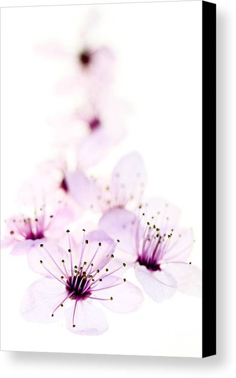 Cherry Blossom Canvas Print featuring the photograph Cherry Cascade by Rebecca Cozart