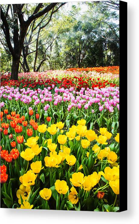 Flowers Canvas Print featuring the photograph Colorful Tulip Field by Chaiyaphong Kitphaephaisan