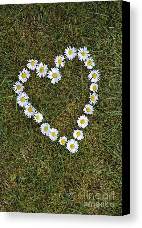 Daisy Canvas Print featuring the photograph Daisy Heart by Tim Gainey