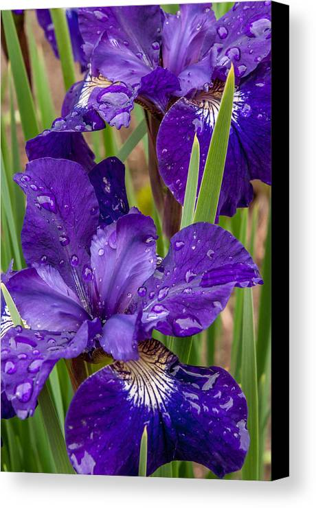Bearded Siberian Iris Canvas Print featuring the photograph Deep Purple by Sabine Edrissi