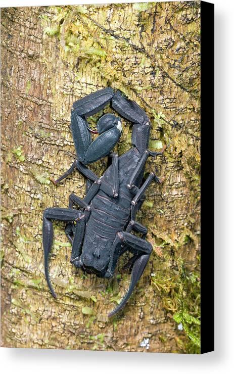 Amazon Canvas Print featuring the photograph Ecuadorian Black Scorpion by Dr Morley Read
