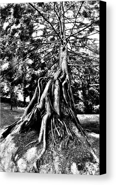 Tree Canvas Print featuring the photograph Exposed by Benjamin Yeager