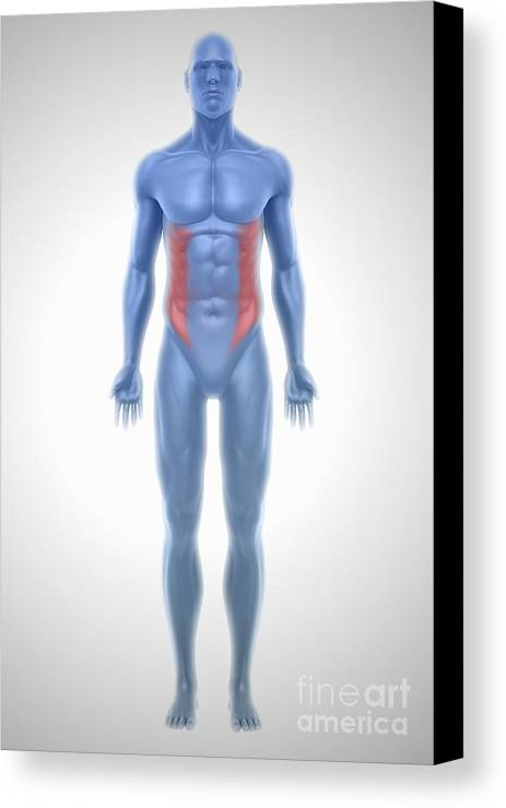 External Oblique Muscles Canvas Print / Canvas Art by Science Picture Co