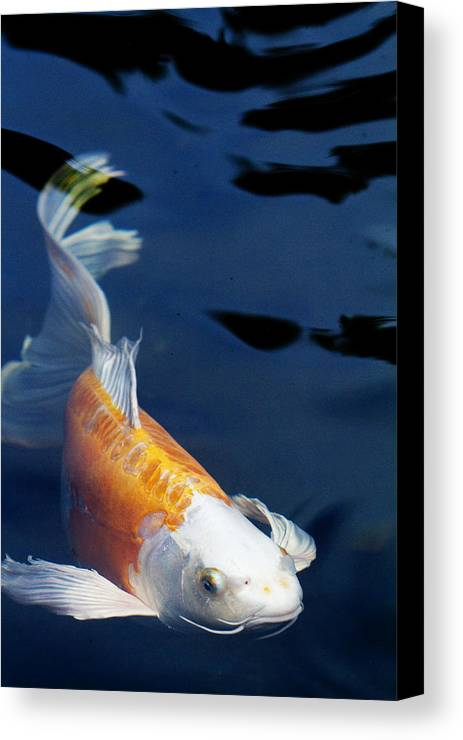 Koi Canvas Print featuring the photograph Fantail Girl by Rebecca Cozart