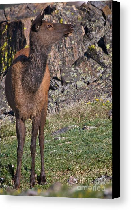 Elf Canvas Print featuring the photograph Female Elk by Kent Becker