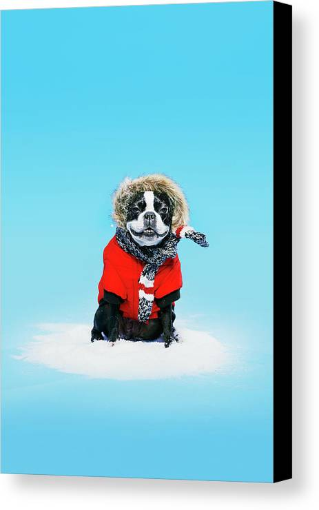 Blue Background Canvas Print featuring the photograph French Bull Terrier Wearing Jacket by Daniel Ehrenworth