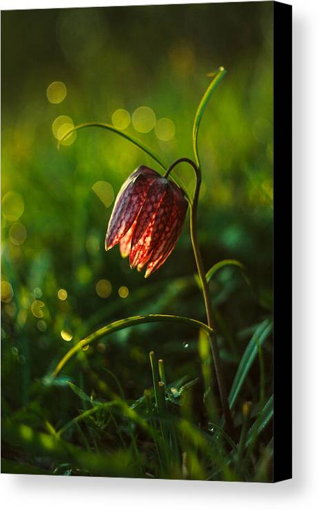 Flower Canvas Print featuring the photograph Fritillaria Meleagris by Davorin Mance