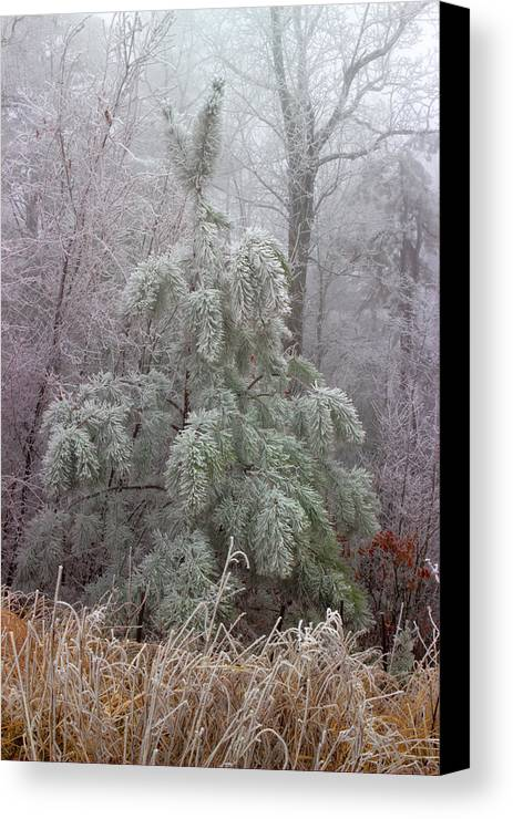 Frosted Pine Canvas Print featuring the photograph Frosty Pine by Michael Eingle