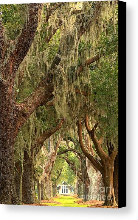 Avenue Of The Oaks Canvas Print featuring the photograph Georgia Golden Oaks by Adam Jewell