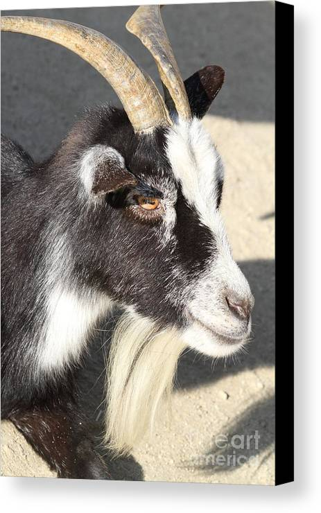 Animal Canvas Print featuring the photograph Goat 7d27405 by Wingsdomain Art and Photography