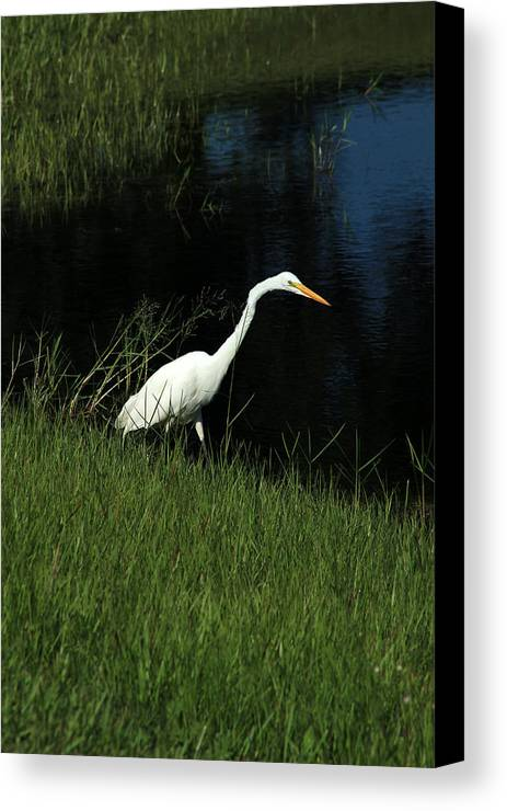 Great Egret Canvas Print featuring the photograph Great Egret Next To A Lake by Robert Hamm