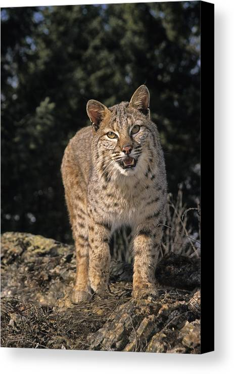 Bobcats Canvas Print featuring the photograph G&r.grambo Mm-00006-00275, Bobcat On by Rebecca Grambo